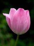 Tulipe rêveuse Images libres de droits