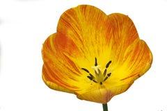 Tulipe rayée d'isolement Photos libres de droits