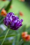 Tulipe rayée pourprée Image stock