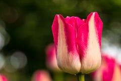 Tulipe rose images stock