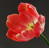 Tulipe rose Photo libre de droits