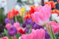 Tulipe rose Photos libres de droits