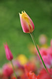 Tulipe rose Image stock