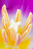 Tulipe rose Photos stock
