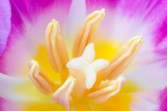 Tulipe rose Image stock