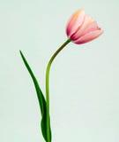Tulipe rose photographie stock libre de droits