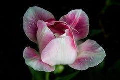 Tulipe rose avec des baisses de l'eau Photographie stock libre de droits