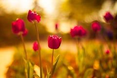 Tulipe rose avec le bokeh chaud Images libres de droits