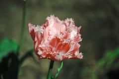 Tulipe rose avec les pétales découpés Photos libres de droits