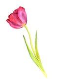 Tulipe rose d'aquarelle Image libre de droits