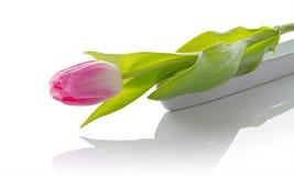 Tulipe rose d'isolement sur le fond blanc avec l'espace de copie photo stock