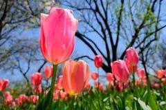 Tulipe rose dans le premier plan avec les tulipes en pastel et arbres dans le backgro Image libre de droits