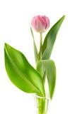 Tulipe rose dans un vase en verre Image libre de droits