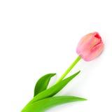 Tulipe rose de ressort avec amour d'isolement Photos libres de droits