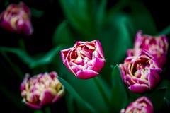 Tulipe rose et blanche de Hollande Photographie stock