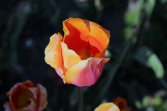 Tulipe rose et orange unique photographie stock libre de droits