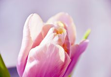 Tulipe rose molle Photographie stock