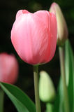 Tulipe rose simple Images libres de droits