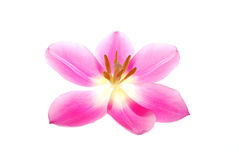 Tulipe rose simple photos stock