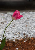 Tulipe rose simple Photo stock