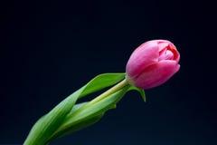 Tulipe rose sur le noir Image stock