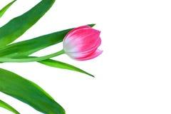 Tulipe rose sur un fond blanc Image stock