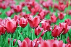 Tulipe rouge à la source Image stock