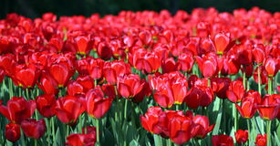 Tulipe rouge à la source Photos stock