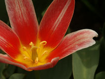 Tulipe rouge #01 images stock