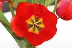 Tulipe rouge #01 Photos stock