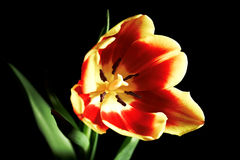 Tulipe rouge photographie stock
