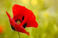 Tulipe rouge Image libre de droits