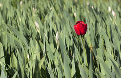 Tulipe rouge Image stock