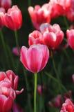 Tulipe rouge Photographie stock libre de droits