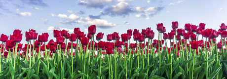 Tulipe rouge Images stock