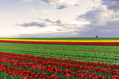 Tulipe rouge Photos libres de droits