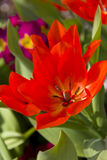 Tulipe rouge au printemps Image stock