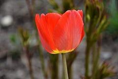 Tulipe rouge avec des pétales Photos libres de droits