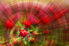 Tulipe rouge avec le fond de zoom Image libre de droits
