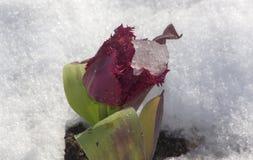 Tulipe rouge bouclée avec le morceau de glace entre les feuilles, dans la neige Photos libres de droits