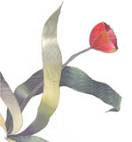 Tulipe rouge d'isolement illustration libre de droits