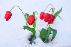 Tulipe rouge dans la neige, ensoleillée, tir de matin Photos stock
