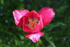 Tulipe rouge de jardin Images stock