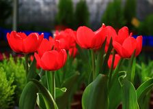 Tulipe rouge de sang Photographie stock