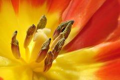 Tulipe rouge et jaune Photographie stock libre de droits