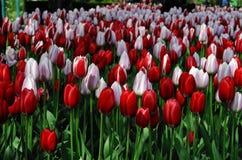 Tulipe rouge et rose Photographie stock