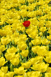 Tulipe rouge et tulipes jaunes Photos stock