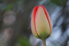Tulipe rouge et verte images libres de droits