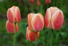 tulipe Rouge-jaune Photographie stock libre de droits