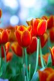 Tulipe rouge sous la pluie photo stock